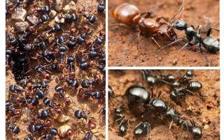 Karınca gelişimi aşamaları