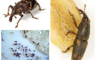Pirinç biti - tahılların zararlı bir zararlısı