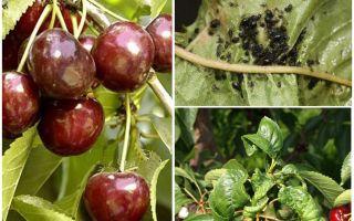 Kiraz ve kiraz üzerinde yaprak biti kurtulmak için nasıl