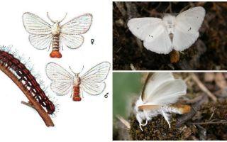 Kelebek ve tırtılların tanımı ve fotoğrafı