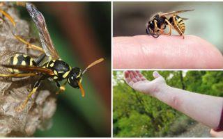 Eşek arısı ısırığı, yararı veya eşek arısı zehiri
