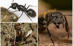 Nefesli Karıncalar