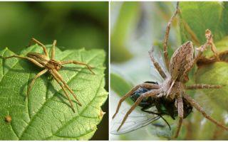 Bir apartmanda ve doğada kaç sıradan örümcek yaşıyor