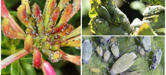 Hanımeli halk ve yapraklarda yaprak bitleri ile nasıl baş edilir