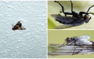 Bir sinek oturur ve tavana yapışır