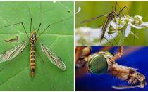 Uzun bacaklı büyük sivrisinekler (Kutular)