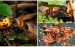 Büyük Hornets: Dev Asya ve Siyah Hornets
