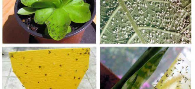 Çiçek saksılarında sineklerle nasıl baş edilir