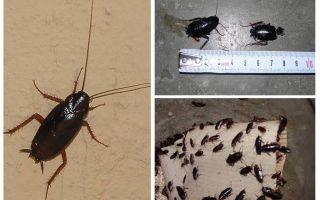Apartmanda büyük siyah hamamböceği kurtulmak nasıl