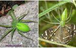 Rusya'da Yeşil Örümcekler