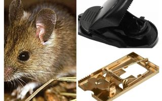 Bir fare kapanı nasıl koymak