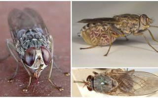 Açıklama ve tsetse sinek fotoğrafı