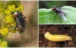 Et sineğinin tanımı ve fotoğrafı (fani)