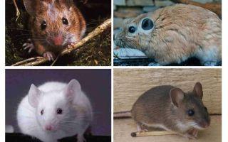 Dünyadaki en büyük fare