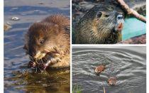 Su sıçanlar