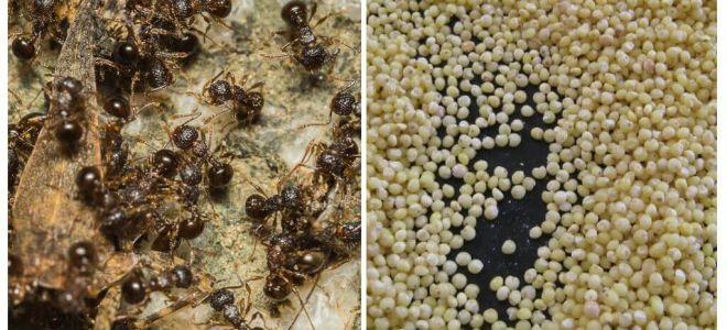 Ülkede karıncalara karşı darı