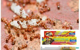 Çözümü Büyük Karınca Savaşçısı
