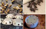 Yaz kulübesinde veya bahçede sarı karıncalardan nasıl kurtulur