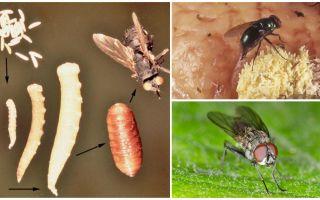 Yumurta yerseniz veya larvaları uçurursanız ne olur?