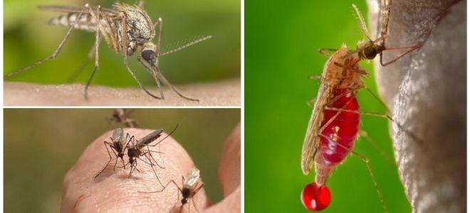 Hangi kan grubunun en çok sivrisinekler tarafından ısırıldığı insanlar