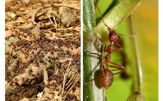 Yararlı karıncalar ne