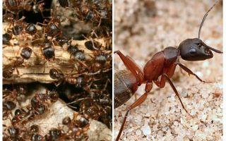Orman kırmızı karıncalar