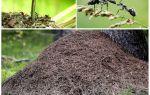 Ağaç karıncalarının hangi tarafında karınca yuvası olacak?