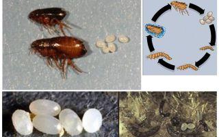 Bir pire yaşam döngüsü, pire yumurta ve larva nasıl