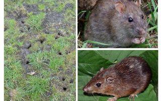 Toprak sıçan