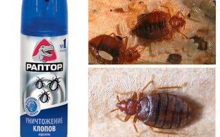 Bedbugs gelen Raptor anlamına gelir