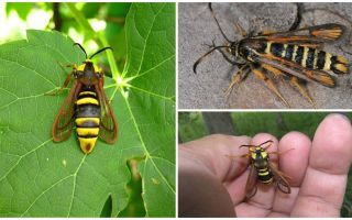 Büyük bir yaban arısı gibi böcek