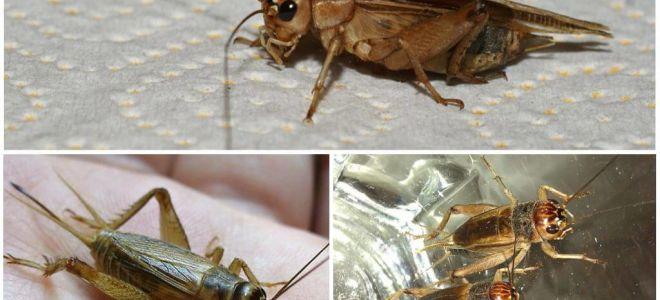 Açıklama ve muz kriket fotoğrafları