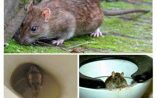 Bir sıçan tuvaletten çıkabilir mi