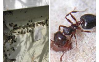 Karıncalar izolasyonda yaşıyor