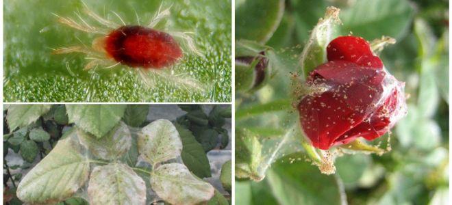 Örümcek akarlarından bir gül nasıl işlenir