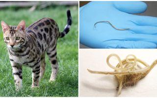 Semptomlar ve kedilerde askariaz tedavisi