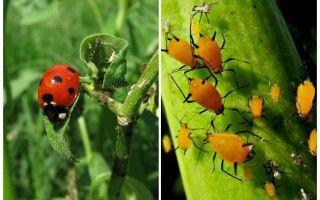 Uğur böceği ve yaprak biti