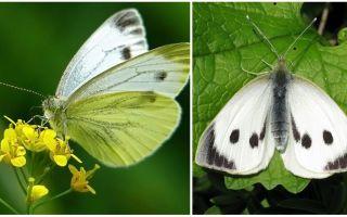 Tırtıllar ve lahana kelebekleri açıklaması ve fotoğrafları