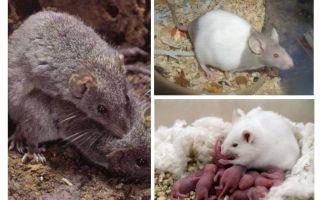 Üreme fareler