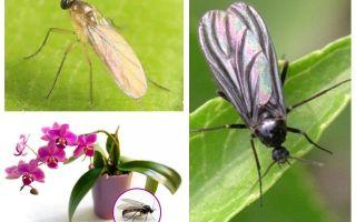 Orkide ortası yetiştirilirse ne yapmalı?