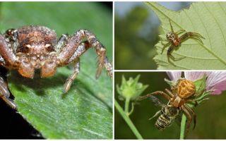 Yengeç örümceğinin tanımı ve fotoğrafı (izometrik olmayan bokhoda)