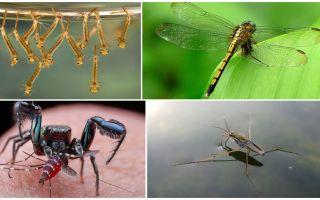 Kim sivrisinekleri yer