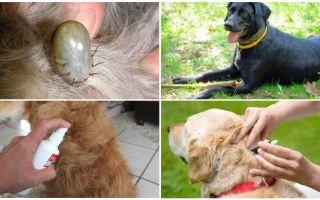 Keneler ve pire gelen köpekler için en iyi ilaçlar