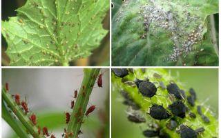 Bahçede ve halk ilaçları bahçesinde yaprak bitleri ile nasıl baş edilir