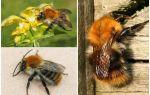 Alan bumblebee'nin tanımı ve fotoğrafları