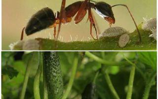 Bahçedeki karıncalarla salatalıklarla nasıl baş edilir