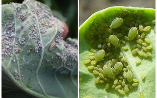 Lahanada yaprak bitlerinin nasıl ve nasıl işleneceği