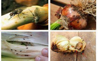 Soğan midgesinden nasıl kurtulur