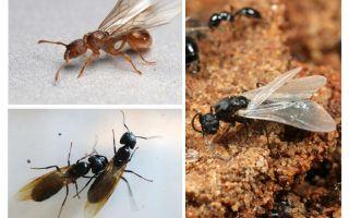 Kanatlı karıncalar