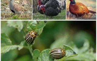 Hangi kuşlar ve böcekler Colorado böcekleri yiyor?
